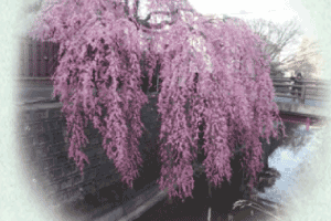 石橋屋の桜